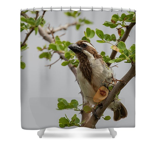 Black-throated Barbet Shower Curtain