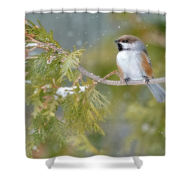 Boreal Chickadee In Winter Shower Curtain