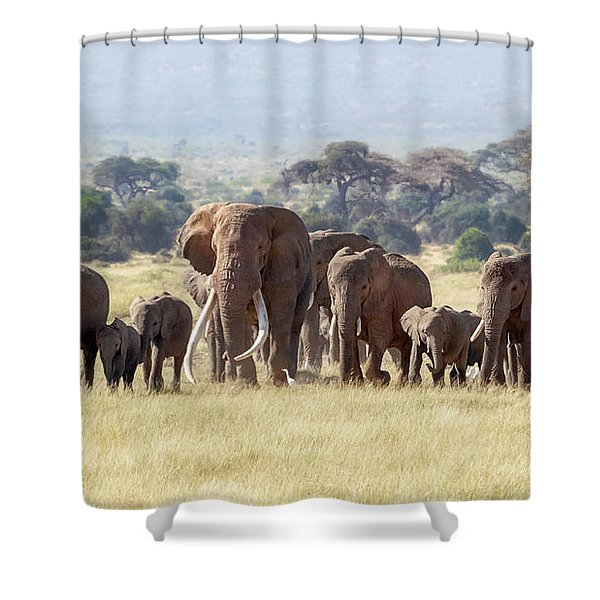 Bull Elephant With A Herd Of Females And Babies In Amboseli, Kenya Shower Curtain