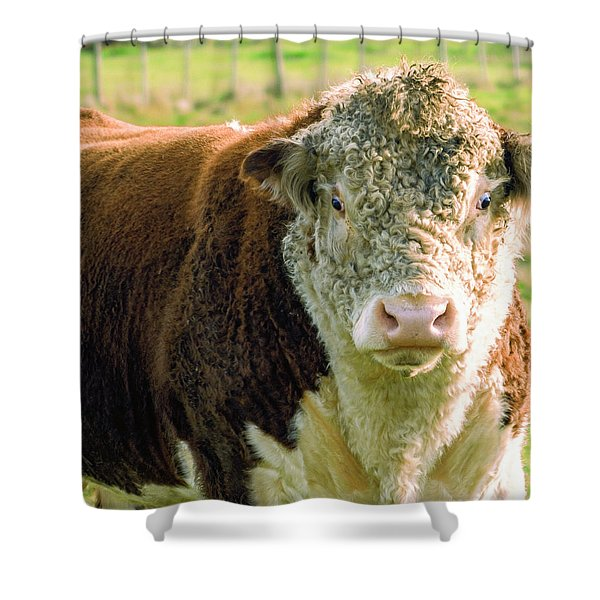 Bull In The Country Side Of Tasmania. Shower Curtain