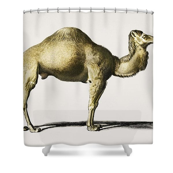 Camel  Camelus  Illustrated By Charles Dessalines D' Orbigny  1806-1876  Shower Curtain