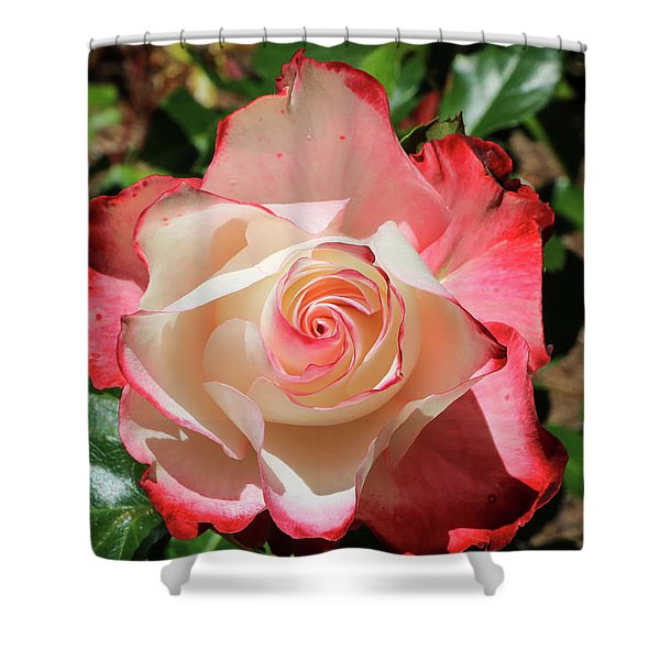 Shower Curtain featuring the photograph Cherry Parfait Rose by Dawn Richards