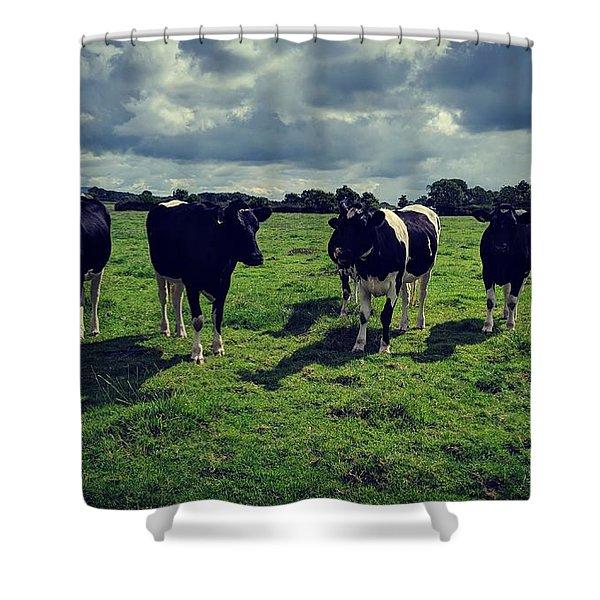 Dairy Heifers Shower Curtain