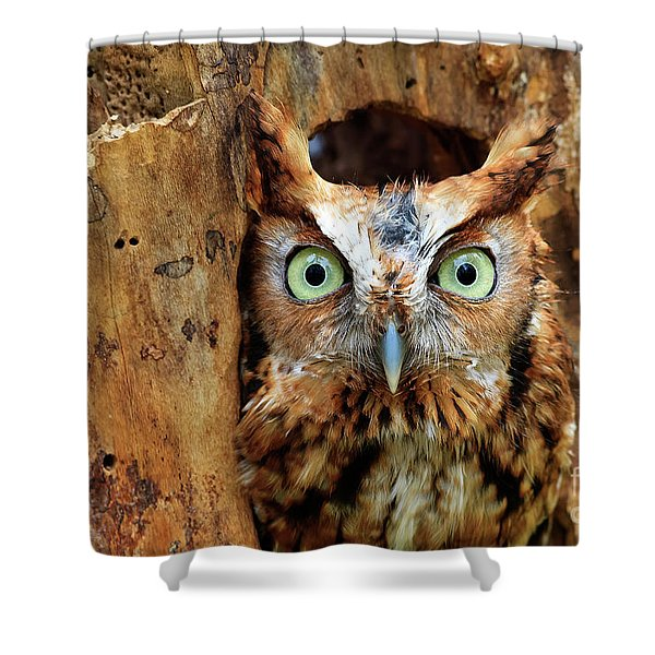 Eastern Screech Owl Perched In A Hole In A Tree Shower Curtain