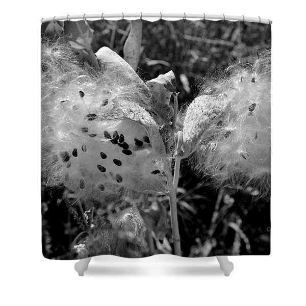 Emerging Milkweed Seeds In Black And White Shower Curtain