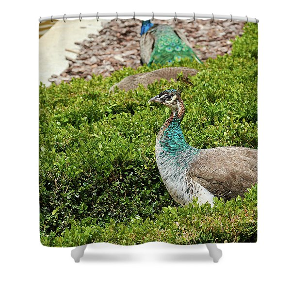 Female Peafowl At The Gardens Of Cecilio Rodriguez In Madrid, Spain Shower Curtain