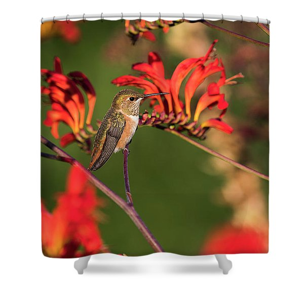 Female Rufous Hummingbird At Rest Shower Curtain