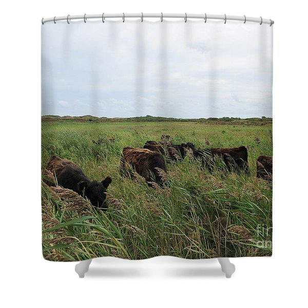 Galloway Cows On Texel North Holland Shower Curtain