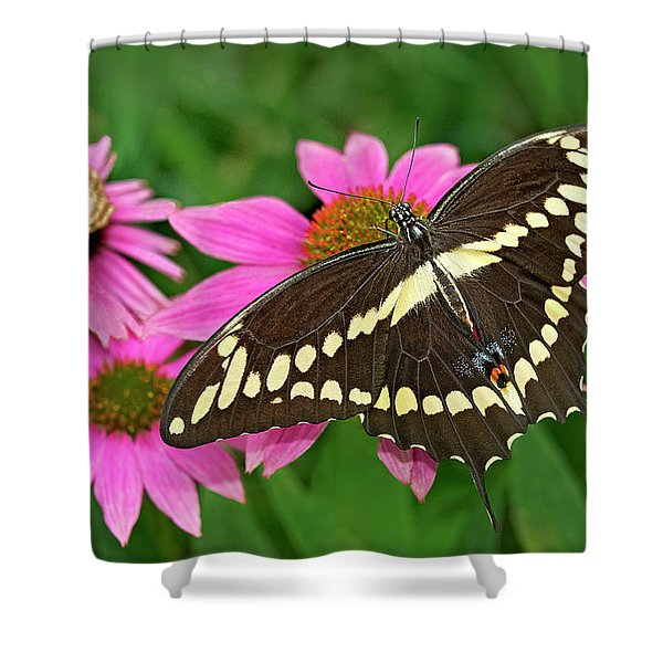 Giant Swallowtail Papilo Cresphontes Shower Curtain