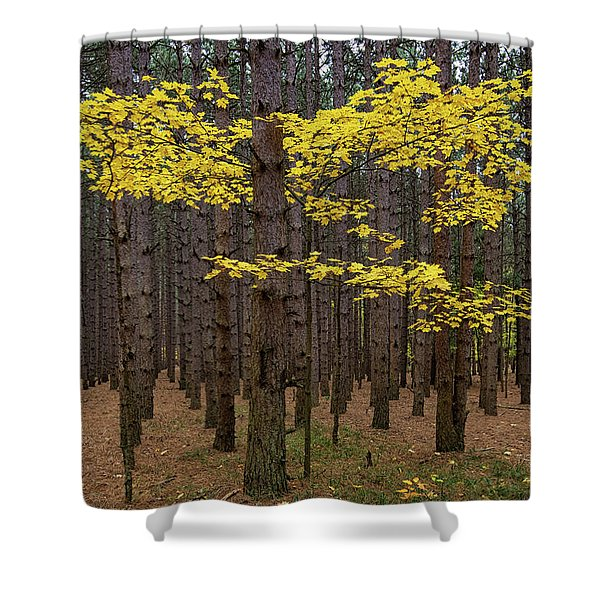 Gold Among The Pines 2 Shower Curtain