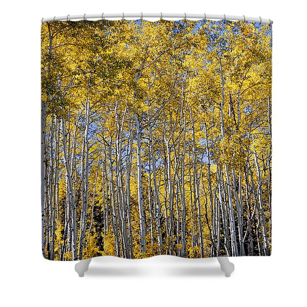 Golden Aspen Grove Shower Curtain