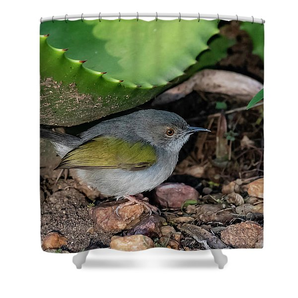 Gray-backed Camaroptera Shower Curtain