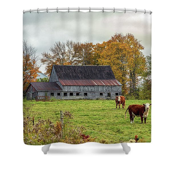 Herefords In Fall Shower Curtain