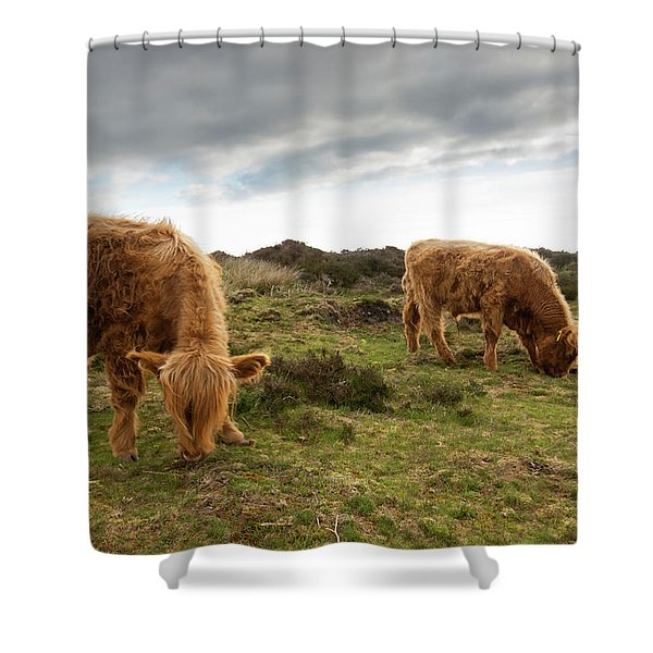 Highland Cattle Feeding At Baslow Edge Shower Curtain