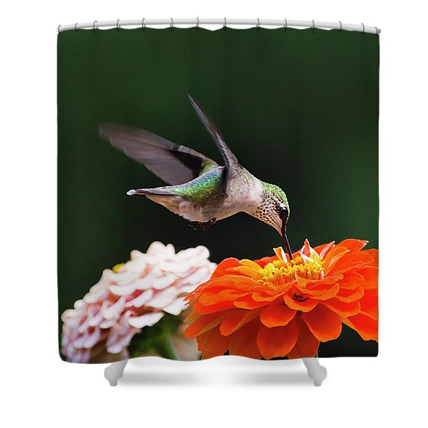 Hummingbird In Flight With Orange Zinnia Flower Shower Curtain