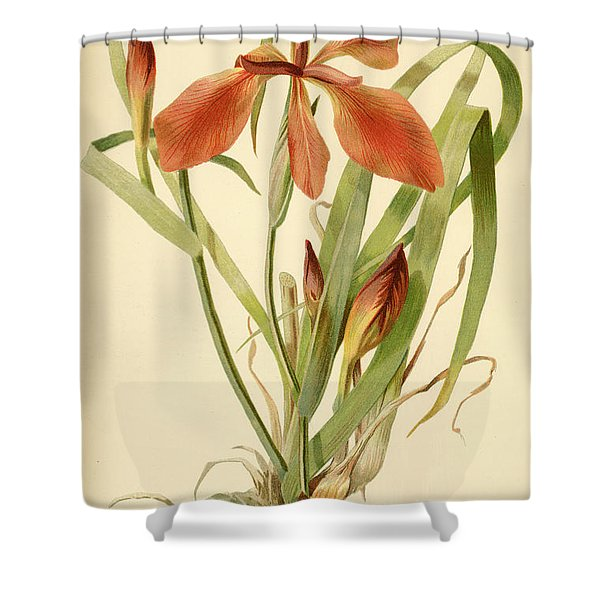 Iris Cuprea Copper Iris.  Shower Curtain