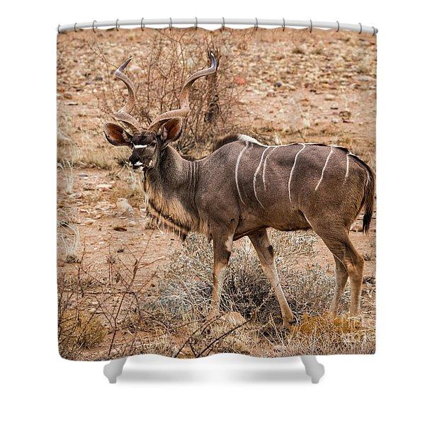 Kudu In The Kalahari Desert, Namibia Shower Curtain