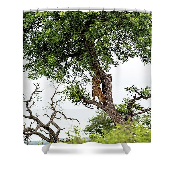 Leopard Descending A Tree Shower Curtain
