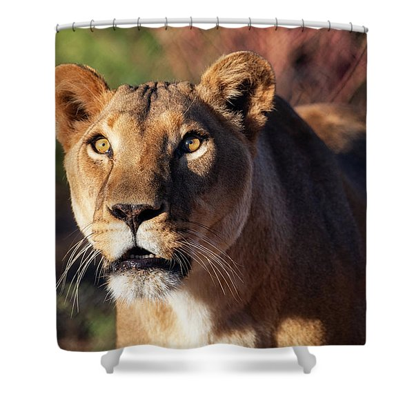 Lioness Looking Up Shower Curtain