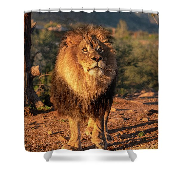 Male African Lion In Early Light Shower Curtain