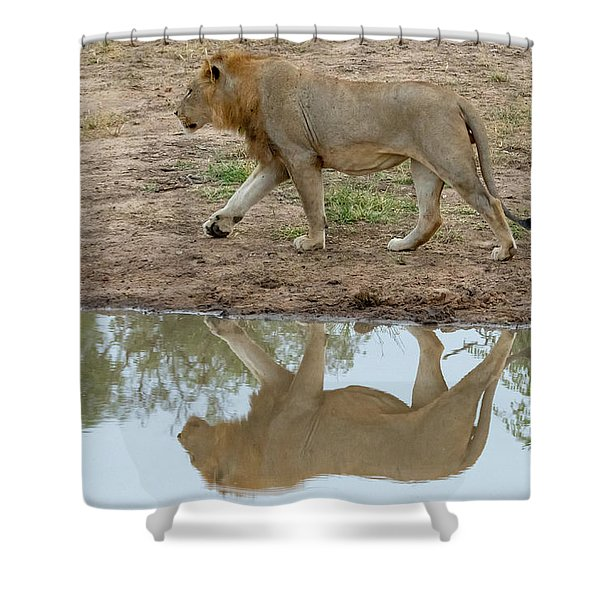 Male Lion And His Reflection Shower Curtain