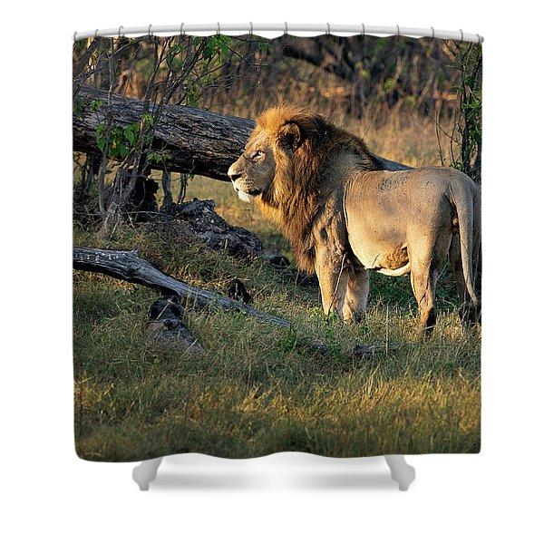Male Lion In Botswana Shower Curtain