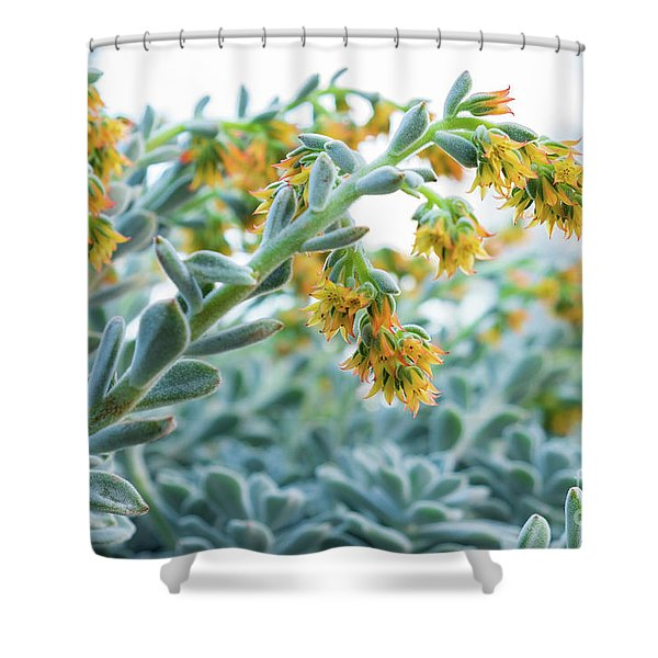 Mexican Echeveria In The  Morning Shower Curtain