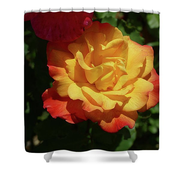 Red And Yellow Rio Samba Roses Shower Curtain