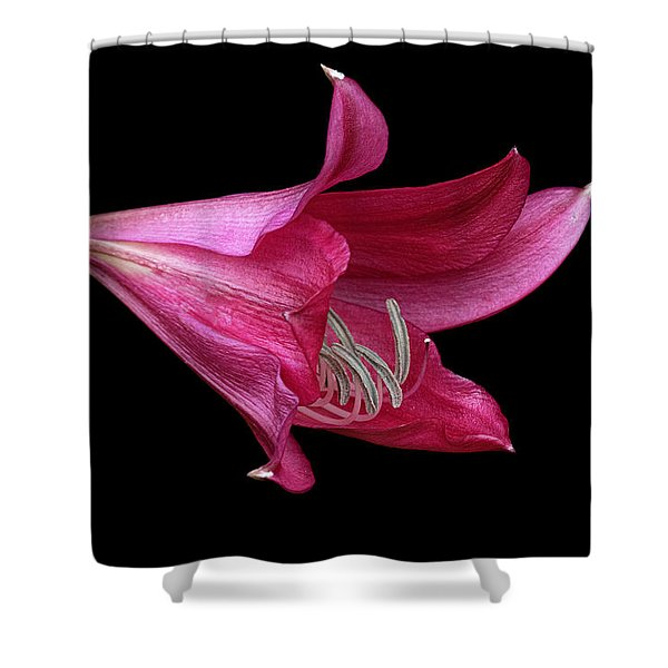 Shower Curtain featuring the photograph Red Easter Lily by Ken Barrett