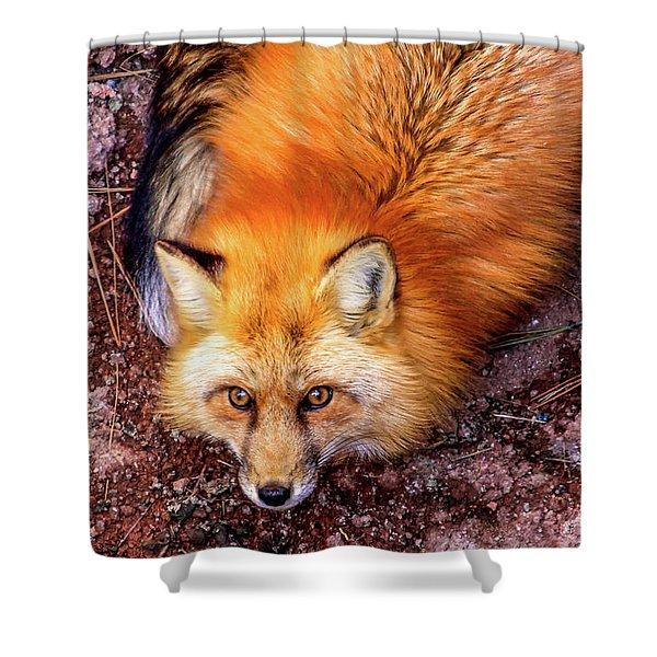 Red Fox In Canyon, Arizona Shower Curtain
