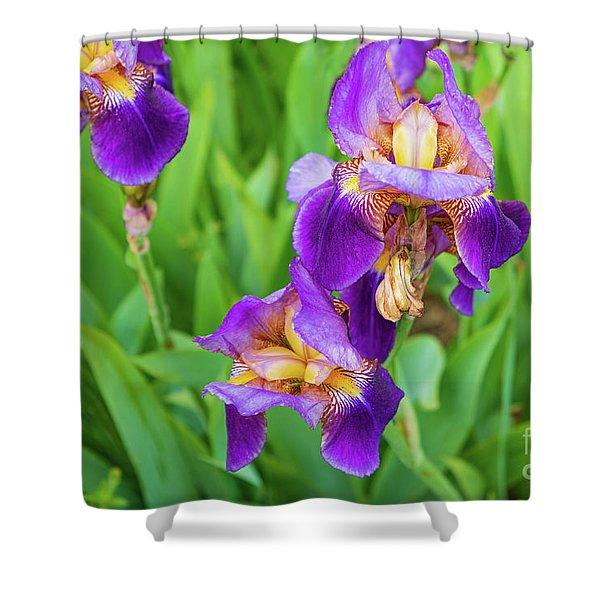 Royal Purple Irise Shower Curtain