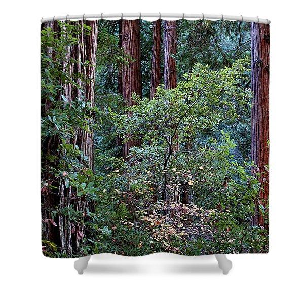 Samuel Taylor Redwoods 2 Shower Curtain