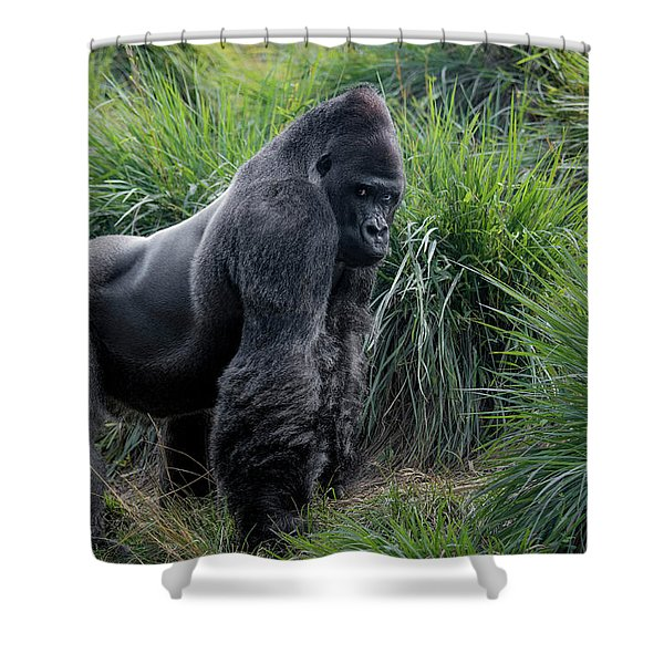 Silverback Stare 1806 Shower Curtain