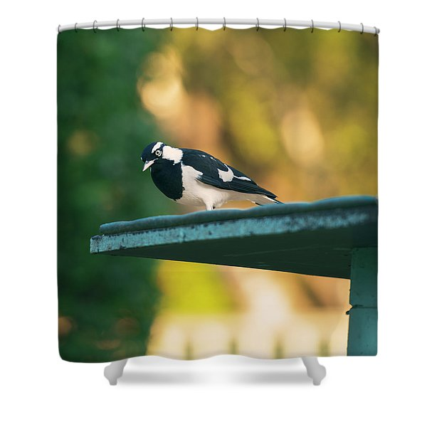 Small Magpie Lark Outside In The Afternoon Shower Curtain