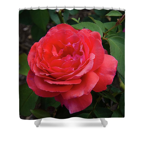 Solitary Rose Shower Curtain