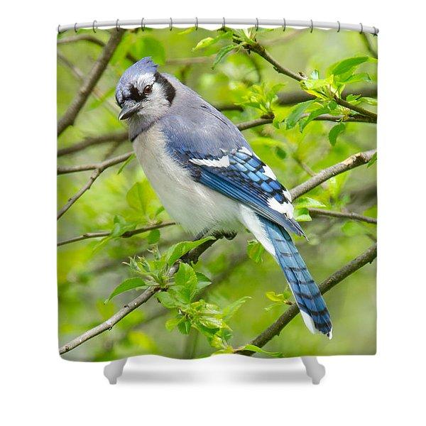 Springtime Bluejay Shower Curtain