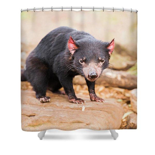 Tasmanian Devil In Hobart, Tasmania Shower Curtain