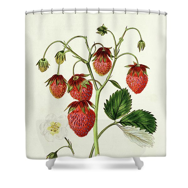 The Roseberry Strawberry, Engraved By Watte Shower Curtain