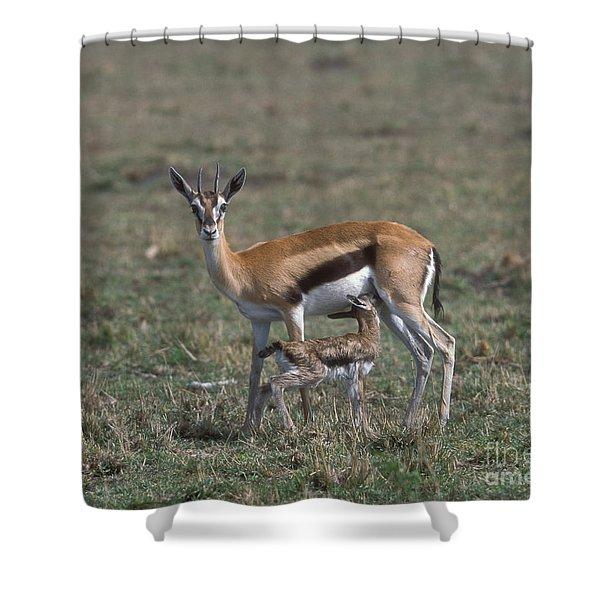 Thomson Gazelle And Newborn Calf Shower Curtain