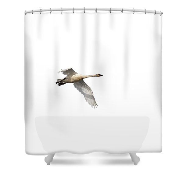 Trumpeter Swan Isolated 2018-1 Shower Curtain