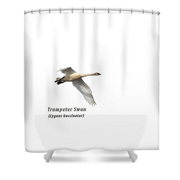 Trumpeter Swan Isolated 2018-2 Shower Curtain
