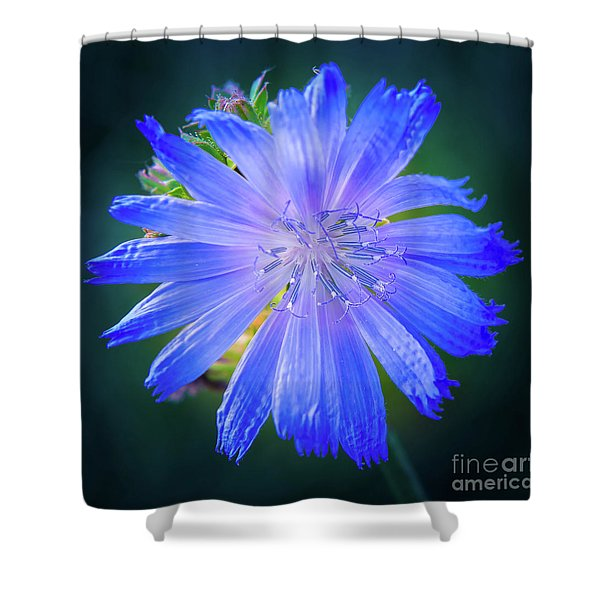 Vivid Blue Chicory Blossom Close-up With Its Delicate Petals And Stamen Shower Curtain