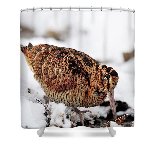 Woodcock Probing For Prey In Marsh, Berwickshire, Scotland Shower Curtain