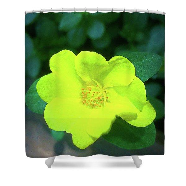 Yellow Hypericum - St Johns Wort Shower Curtain