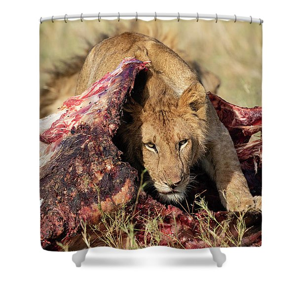 Young Lion On Cape Buffalo Kill Shower Curtain