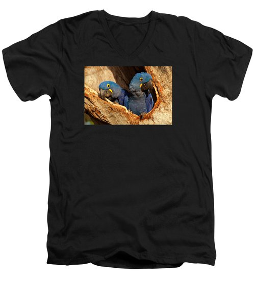 Hyacinth Macaw Pair In Nest Men's V-Neck T-Shirt by Aivar Mikko