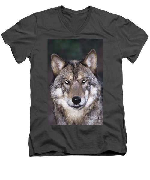 Gray Wolf Portrait Endangered Species Wildlife Rescue Men's V-Neck T-Shirt by Dave Welling