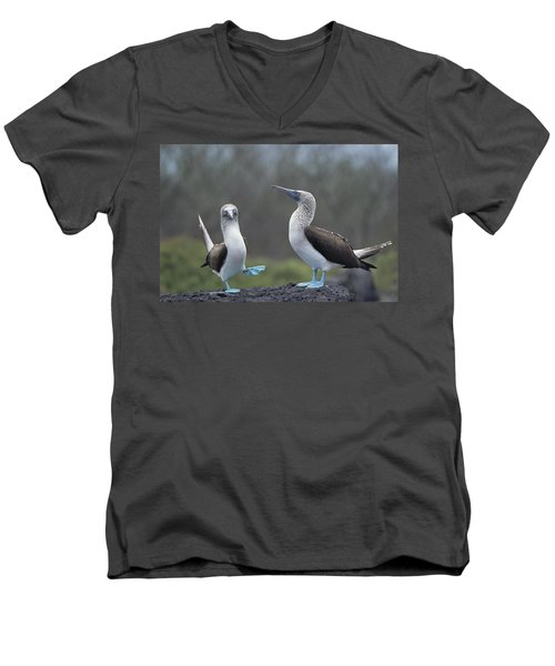 Blue-footed Booby Courtship Dance Men's V-Neck T-Shirt by Tui De Roy