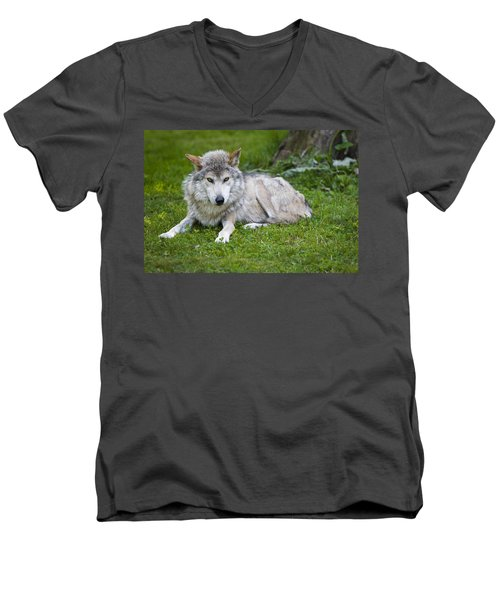 Men's V-Neck T-Shirt featuring the photograph Mexican Gray Wolf by Sebastian Musial
