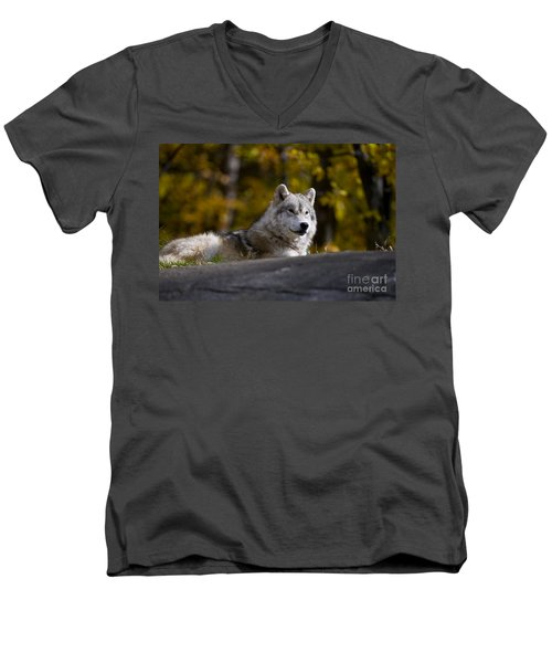 Men's V-Neck T-Shirt featuring the photograph Resting Arctic Wolf On Rocks by Wolves Only